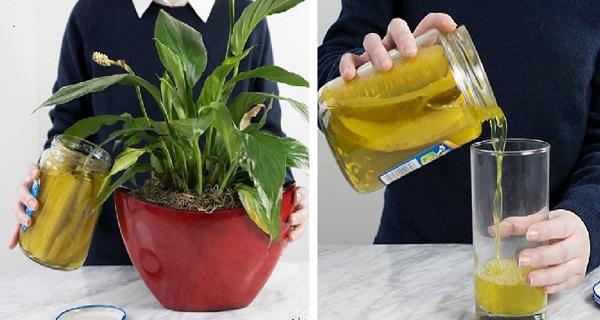 Pickles liquid