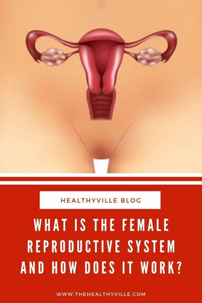 What Is the Female Reproductive System and How Does It Work_